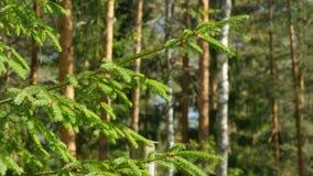 Grüner Nadeln Tannen-Baum stock video footage