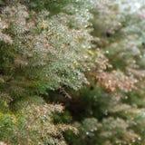 Grüner Naturhintergrund mit den Koniferenniederlassungen umfasst mit De Stockfotografie