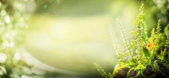 Grüner Naturhintergrund mit Gartenpflanze- und bokehbeleuchtung, Blumengrenze Stockfoto