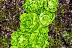 grüner neuer Kopfsalathintergrund Stockbilder