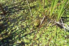 Grüner Ochsenfrosch in einem Sumpf Lizenzfreie Stockfotografie