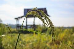 Grüner Ohrungeschälter Reis stockfotografie