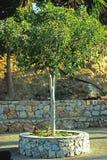 Grüner Olivenbaum Stockbild