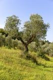Grüner Olivenbaum in Toskana Stockfotografie