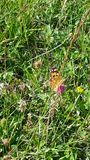 Grüner orange Schmetterling Lizenzfreies Stockfoto