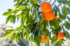Grüner Orangenbaum mit orange Früchten Lizenzfreies Stockfoto