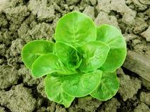 Grüner organischer Kopfsalat, der im Garten wächst Lizenzfreie Stockbilder