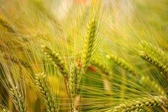 Grüner, organischer Weizen Lizenzfreie Stockbilder