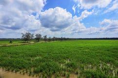 Grüner Paddy archivierte mit Landschaft des Baums und des blauen Himmels in Malaysia Lizenzfreies Stockfoto