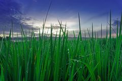 Grüner Paddy Grow High And Blue-Himmel stockbild