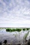 Grüner Paddysprössling bereit zu pflanzen bewölkte Wolke und blauer Himmel Reflexion auf der Wasseroberfläche Stockfotografie