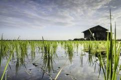 Grüner Paddysprössling und -reflexion auf Wasser an der neuen Jahreszeit mit Verzichthaus und bewölktem Himmel Stockbild
