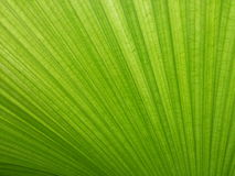 Grüner Palmblattbeschaffenheitshintergrund Stockbilder