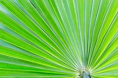 Grüner Palmenurlaub, -beschaffenheit und -hintergrund Stockbilder