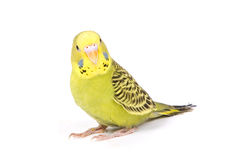 Grüner Papagei lizenzfreies stockfoto