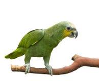 Grüner Papagei Lizenzfreies Stockbild