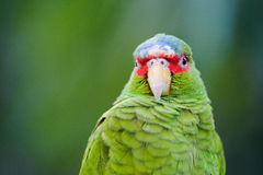 Grüner Papagei Lizenzfreie Stockfotos
