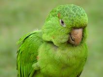 Grüner Papagei stockbild