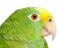 Grüner Papagei stockfoto