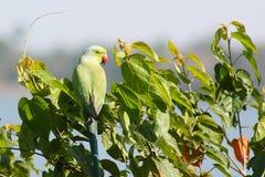 Grüner Papagei auf einem Baum Stockfotos