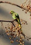 Grüner Papagei auf einem Zweig Stockfotos