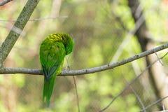 Grüner Papagei auf Niederlassung Papageienreinigung selbst Stockbilder