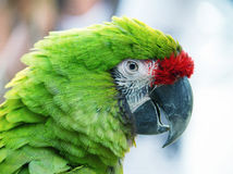 Grüner Papagei auf unscharfem Hintergrund Lizenzfreie Stockfotografie