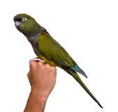 Grüner Papagei, der auf der Hand des Mannes sitzt Lizenzfreie Stockbilder