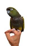Grüner Papagei, der auf der Hand des Mannes sitzt Stockfotografie