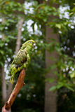 Grüner Papagei, der auf Zweigen steht lizenzfreies stockfoto