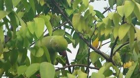 Grüner Papagei, der Mahlzeit hat stock footage