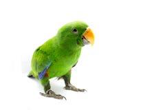 Grüner Papagei (Eclectus-roratus) Lizenzfreie Stockfotos