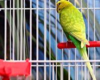 Grüner Papagei in einem Käfig Stockfoto