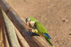 Grüner Papagei in Fuerteventura, Kanarische Inseln Stockfotos