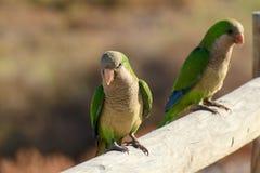 Grüner Papagei in Fuerteventura, Kanarische Inseln Lizenzfreie Stockbilder