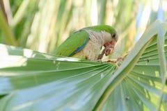 Grüner Papagei in Fuerteventura, Kanarische Inseln Lizenzfreies Stockfoto