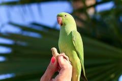 Grüner Papagei in Fuerteventura, Kanarische Inseln Lizenzfreie Stockfotos