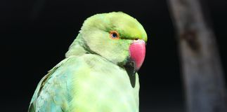 Grüner Papagei hinter einem Zaun stockfoto