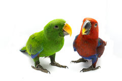 Grüner Papagei und roter Papagei (Eclectus-roratus) Stockbild