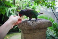 Grüner Papagei, wild lebende Tiere in Bali-Vögeln parken Stockbilder