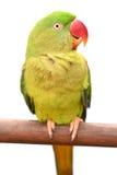 Grüner Papageien-Vogel lizenzfreies stockbild