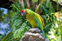 Grüner Papageienvogel auf hölzerner Niederlassung Stockfotografie