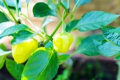 Grüner Paprika auf Niederlassung Lizenzfreies Stockbild