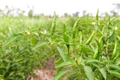 Grüner Paprika auf Paprikabaum stockfotos