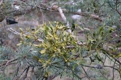 Grüner parasitärer europäischer Mistelzweig, Viscumalbumabschluß oben auf einem Baumast Feld des grünen Grases gegen einen blauen Lizenzfreie Stockfotografie