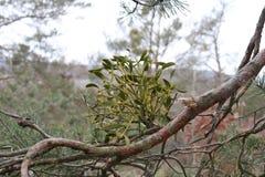 Grüner parasitärer europäischer Mistelzweig, Viscumalbumabschluß oben auf einem Baumast Feld des grünen Grases gegen einen blauen Lizenzfreie Stockfotos