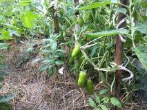 Grüner Pfeffer im Garten Stockfoto