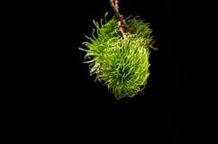 Grüner Rambutan mit dunklem Hintergrund Stockbilder