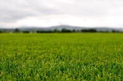 Grüner Rasen Lizenzfreie Stockbilder