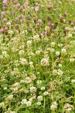 Grüner Rasen, auf dem Klee wächst Stockfotos